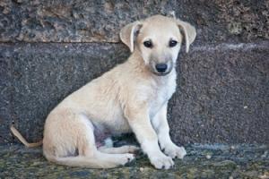 Stray baby dog_119377674 copy